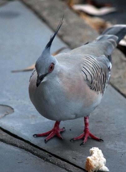 native-pigeon-3-alt