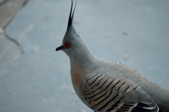 native-pigeon-1