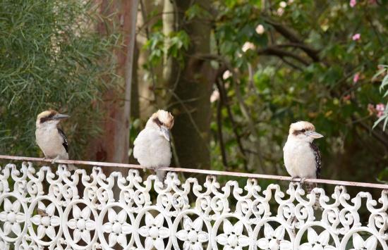 kookaburras-3