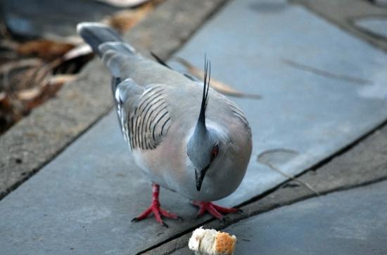 native-pigeon-2